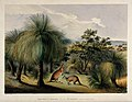 Australian grass trees (Xanthorrhoea species) with red kanga Wellcome V0043232.jpg