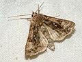 Autographa pulchrina - Beautiful golden Y - Металловидка красивая (27228637538).jpg
