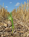 Awesome Cover Crops started in Eastern South Dakota (14941220948).jpg