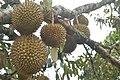 Ayo ngambi Durian oi........ di Desa Jumabalno, Tiga Baru,Pegagan Hilir, Dairi - panoramio.jpg