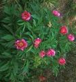 Bánáti bazsarózsa (Paeonia officinalis banatica).png