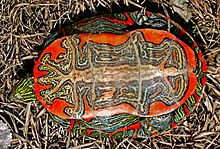The under shell(plastron) of a western painted turtle