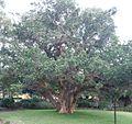 BCBG Ficus Sycomorus 01.jpeg