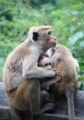 Baby Monkey in love with it's mom.png