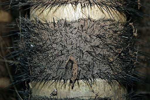 Chonta o chontaduro, Bactris gasipaes