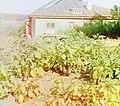 Badrazhany, Eggplants (cropped).jpg