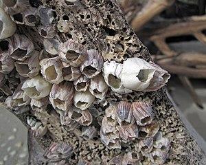 Amphibalanus amphitrite - A. amphitrite  and Balanus eburneus (ivory acorn barnacles), Cayo Costa State Park, Florida