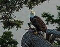 Bald Eagle perched on Douglas-fir, Nanoose Bay, Vancouver Island 1.jpg