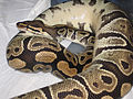 Ball Python Inverted Basking.jpg
