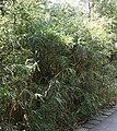 Bambus002.jpg