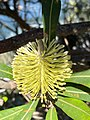 Banksia integrifolia 120165332.jpg