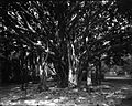 Banyan Tree (2), Ainahau, photograph by Brother Bertram.jpg