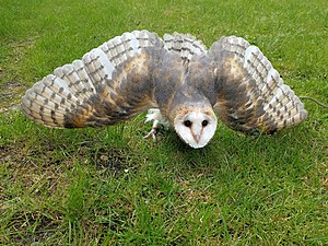 Barn owl by Juliet van Ree.jpg