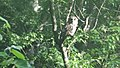 Barred Owl at Mingo National Wildlife Refuge (18274524893).jpg