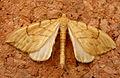 Barred Straw. Eulithis pyraliata (4817812809).jpg