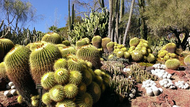 File Barrel Cacti At Huntington Library Art Collections And Botanical Wikimedia