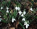 Barton Stacey - Snowdrops - geograph.org.uk - 658347.jpg