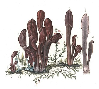 Johan Theodor Holmskjold - Image: Beata Ruris Otia Fungis Danicis Impensa 6