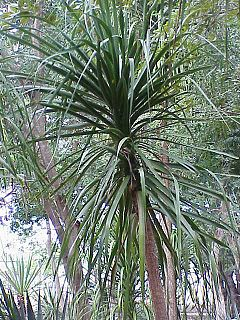<i>Beaucarnea</i> genus of plants