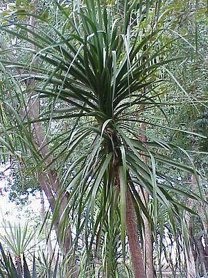 Beaucarnea - Beaucarnea pliabilis