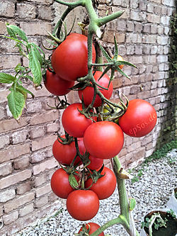 Beautiful Red Tomatoes are Healthy.jpg