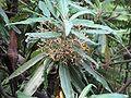 Bedfordia arborescens.jpg