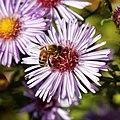 Bee on Michaelmas daisy Feeringbury Manor, Feering Essex England view 1.jpg