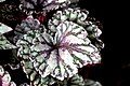 Begonia (13).jpg