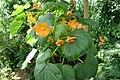 Begonia cinnabarina.JPG