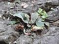 Begonia floccifera-2-mundanthurai-tirunelveli-India.jpg