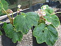 Begonia labordei (20982739938).jpg