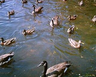 Water bird Bird that lives on or around water