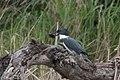 Belted Kingfisher (male) Santa Ana NWR Mission TX 2018-03-03 11-36-04 (25792673877).jpg