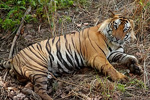 Male bengal tiger - not too disturbed by the e...