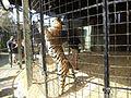 Bengal Tiger at Wild Adventures.JPG