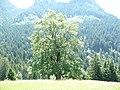 Bergahorn bei der Alpe Ranzenberg.JPG