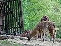 Bergtierpark Erlenbach Gruppe Guanako.JPG