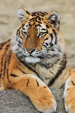 Environmental issues in Russia - Several species, such as the Siberian tiger, are at risk of extinction.