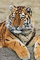 Berlin Tierpark Friedrichsfelde 12-2015 img23 Siberian tiger.jpg