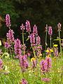 Betonica officinalis flower Munich Botanic garden.JPG
