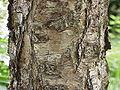Betula nigra1.jpg