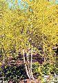 Betula nigra Heritage.jpg