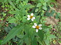 Bidens pilosa-yercaud-salem-India.JPG