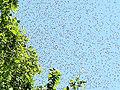 Bienenschwarm 17c.jpg