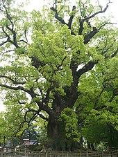 arbre laurier