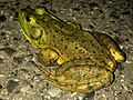 Big bullfrog on the road - 3.jpg