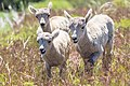 Bighorn sheep lambs (d1093b3c-1b37-4d27-a17a-7fcb0797e16b).jpg