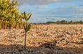 Birth of a mangrove.jpg