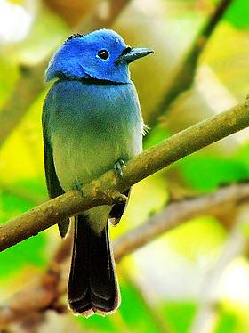 Black-Naped Monarch Flycatcher (Hypothymis azurea) Photograph By Shantanu Kuveskar.jpg
