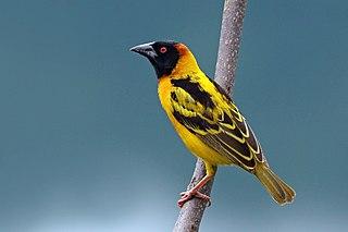 Village weaver species of bird